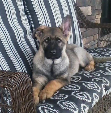 AKC Registered German Shepherd For Sale Millersburg, OH Female- Lilly