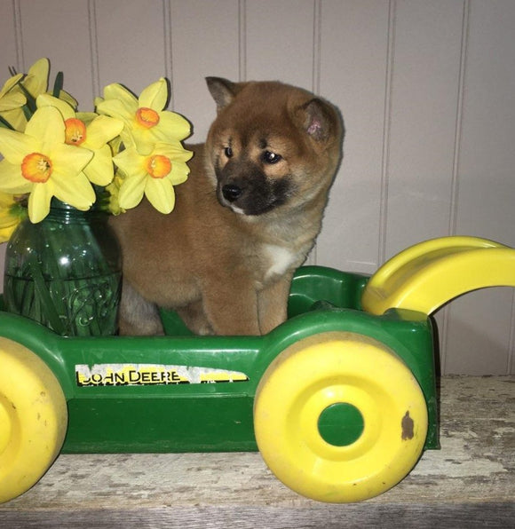 AKC Registered Shiba Inu For Sale Dundee, OH Female- Lily