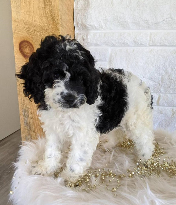 Cockapoo For Sale Dundee, OH Female- Lily
