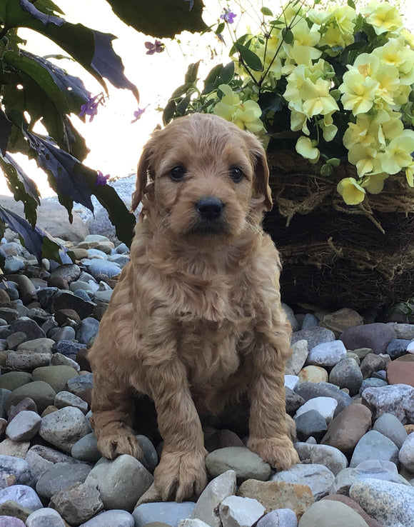 Mini Goldendoodle For Sale Fredericksburg, OH Female- Lily