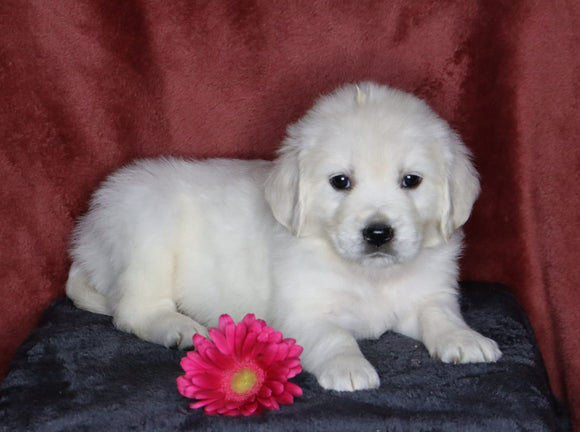 AKC Registered English Cream Golden Retriever For Sale Fredericksburg, OH Female- Lindsey