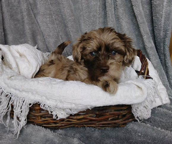 Mini Labradoodle For Sale Millersburg, OH Female- Lizzie