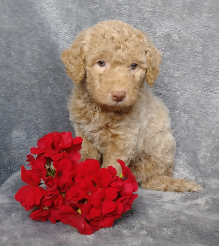 F1B Mini Labradoodle For Sale Millersburg, OH Female- Lola