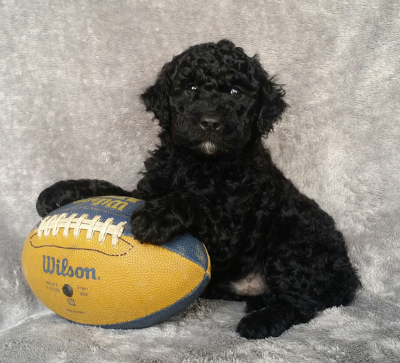 Mini Labradoodle For Sale Millersburg, OH Male- Louie