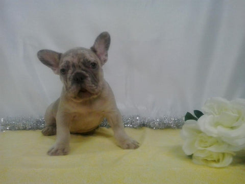 AKC Registered French Bulldog For Sale Holmesville, OH Male- Louie