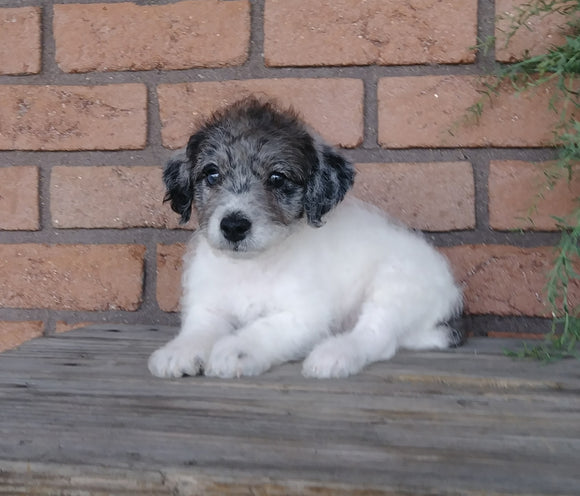 F1B Mini Labradoodle For Sale Millersburg, OH Male- Lover Boy
