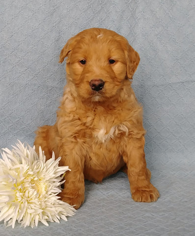 Goldendoodle For Sale Millersburg, OH Male- Lover Boy