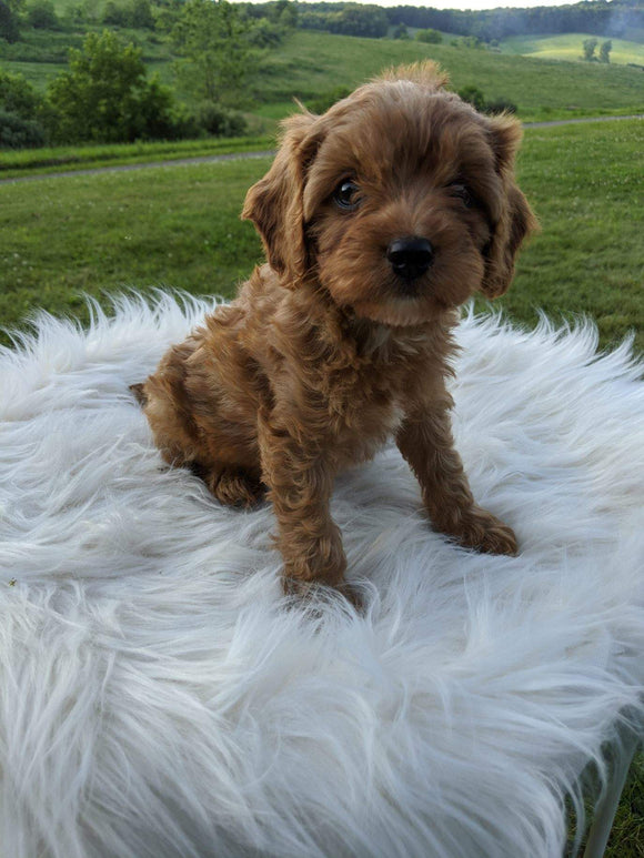 Cavapoo For Sale Dundee, OH Female- Lucky