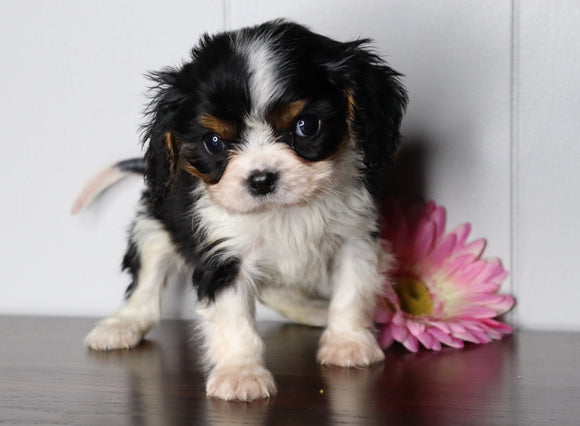 AKC Registered Cavalier King Charles Spaniel For Sale Fredericksburg, OH Male- Luke