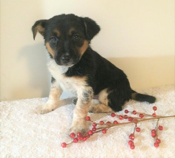 Border Collie/ Australian Shepherd Mix For Sale Holmesville, OH Female- Lulu