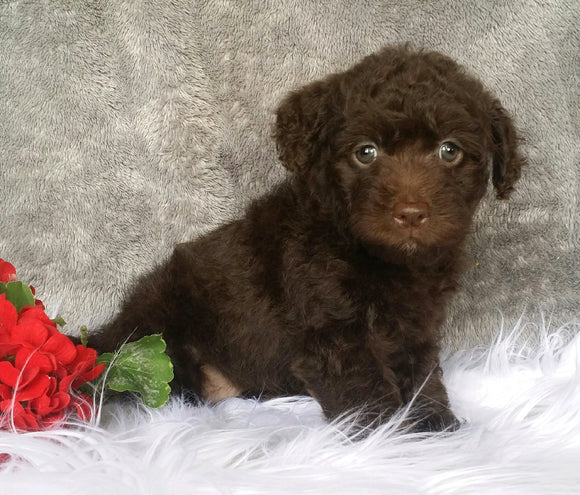 Mini Labradoodle For Sale Millersburg, OH Female- Lulu