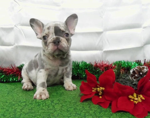 AKC Registered French Bulldog For Sale Holmesville, OH Female- Lulu