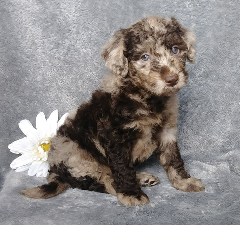 F1B Mini Labradoodle For Sale Millersburg, OH Female- Lydia