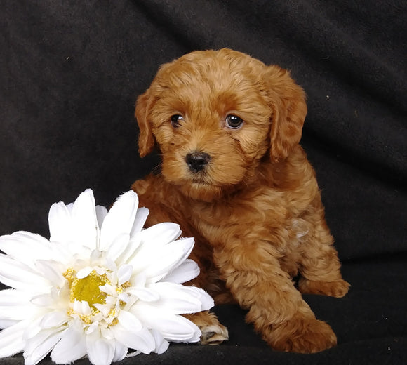 Mini F1B Labradoodle For Sale Millersburg, OH Female- Macy