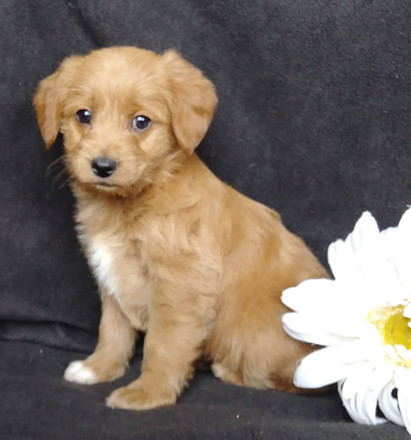 Mini F1B Labradoodle For Sale Millersburg, OH Female- Magdalene