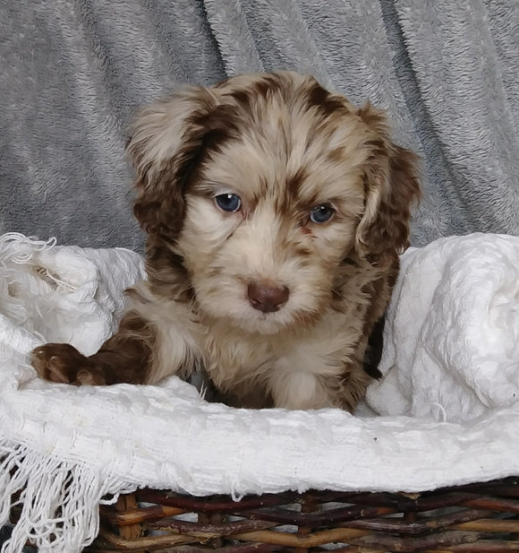 Mini Labradoodle For Sale Millersburg, OH Female- Magdalene