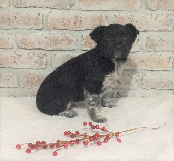 Border Collie/ Australian Shepherd Mix For Sale Holmesville, OH Female- Maggie