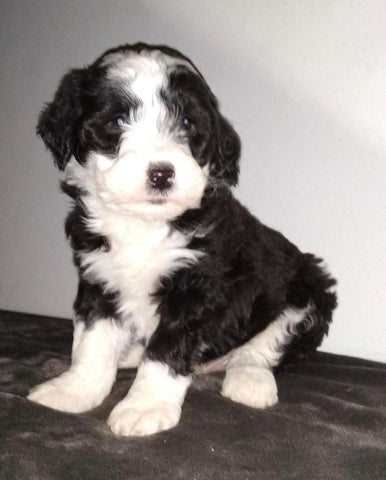 Sheepadoodle (Standard) For Sale Wooster, OH Male- Marco