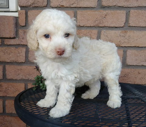 Cockapoo For Sale Millersburg, OH Male- Marshmallow