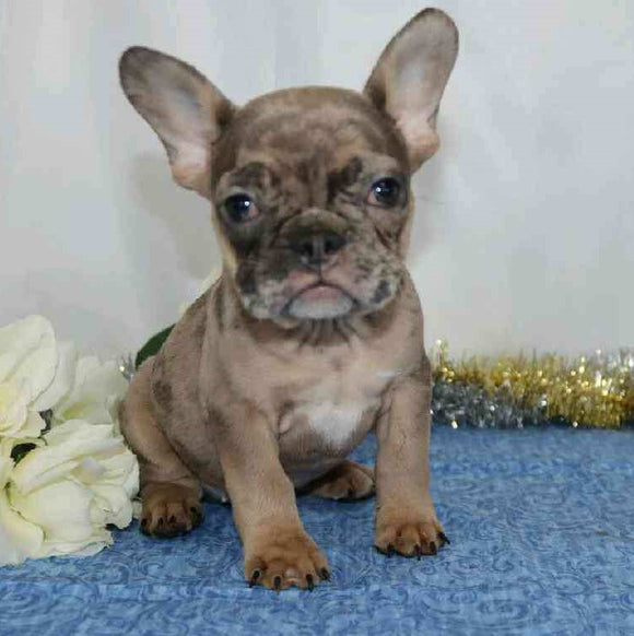 AKC Registered French Bulldog For Sale Wooster, OH Male- Martin