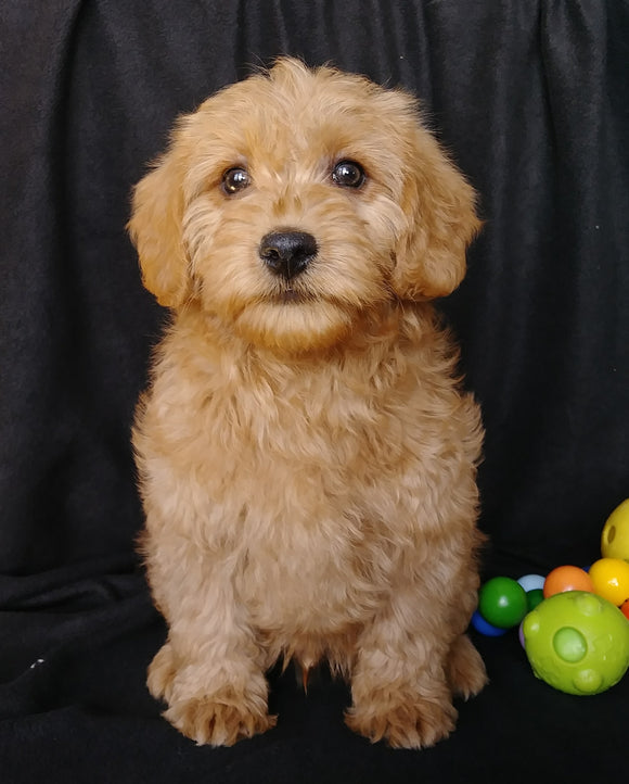 Mini F1B Labradoodle For Sale Millersburg, OH Male- Mason