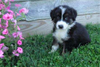 Australian Shepherd For Sale Baltic, OH Male- Max