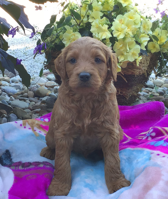 Mini Goldendoodle For Sale Fredericksburg, OH Male- Max