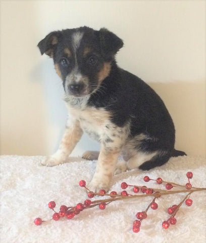 Border Collie/ Australian Shepherd Mix For Sale Holmesville, OH Female- Mia