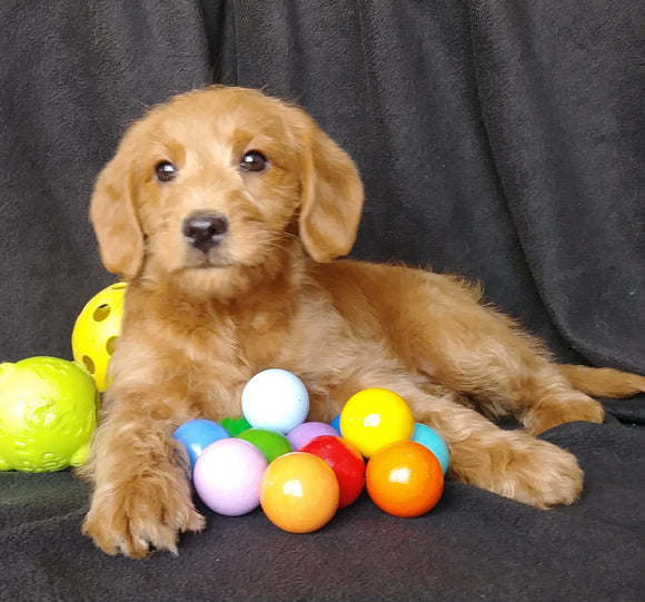 Mini F1B Labradoodle For Sale Millersburg, OH Male- Mickey