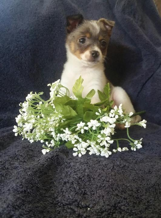 Pomeranian Mix For Sale Millersburg, OH Female- Miley