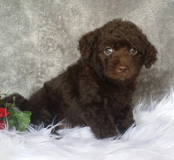 Mini Labradoodle For Sale Millersburg, OH Female- Mimi