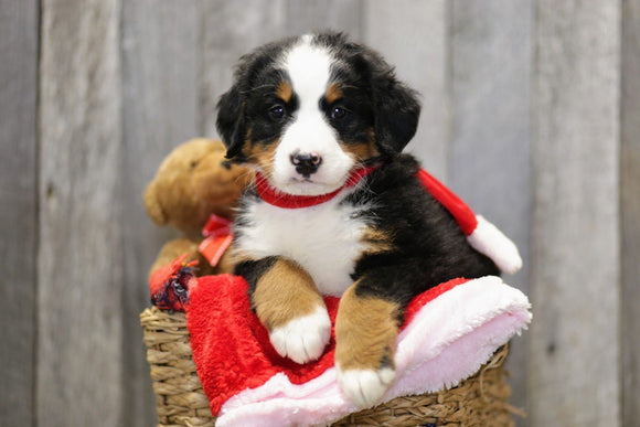 AKC Registered Bernese Mountain Dog For Sale Brinkhaven, OH Female- Mindy