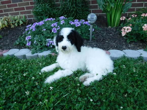 Sheepadoodle (Standard) For Sale Baltic, OH Female- Mindy