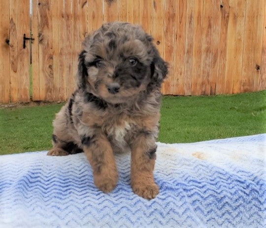 Mini Aussiedoodle For Sale Holmesville, OH Female- Mocha