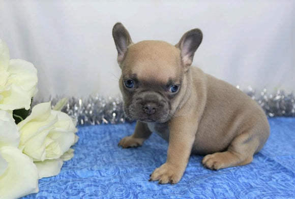 AKC Registered French Bulldog For Sale Wooster, OH Male- Moki
