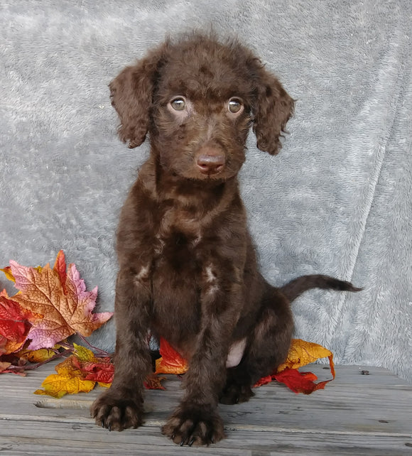 F1B Medium Labradoodle For Sale Millersburg, OH Female- Molly