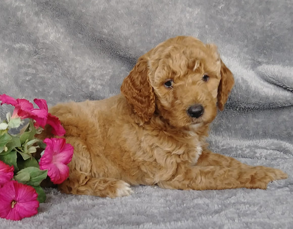 Goldendoodle For Sale Millersburg, OH Female- Mt Dew