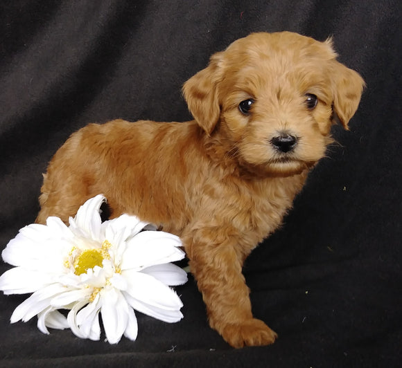 Mini F1B Labradoodle For Sale Millersburg, OH Female- Muffin