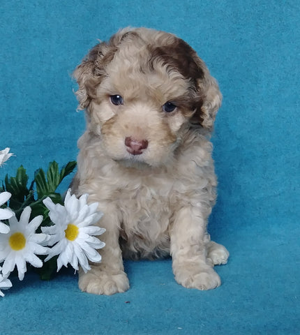 Cockapoo Puppy For Sale Millersburg, OH Male- Muffin