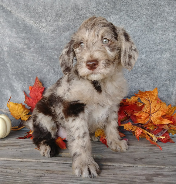 F1B Medium Labradoodle For Sale Millersburg, OH Male- Muffin