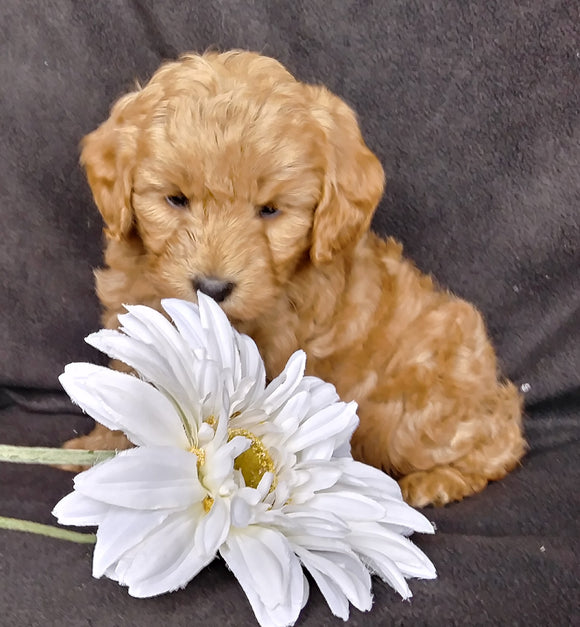 Mini F1B Labradoodle For Sale Millersburg, OH Male- Mugsy