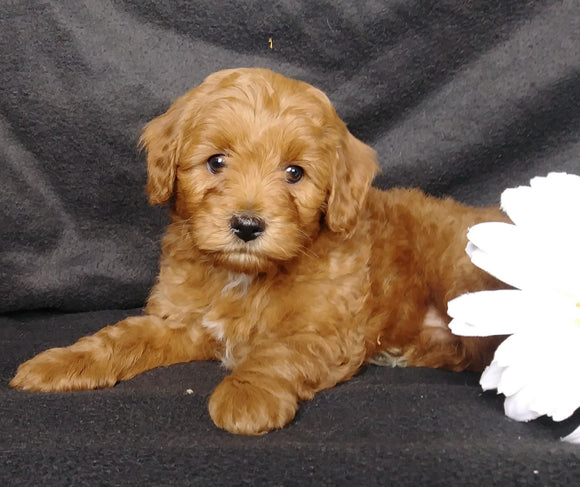 Mini F1B Labradoodle For Sale Millersburg, OH Male- Munchkin