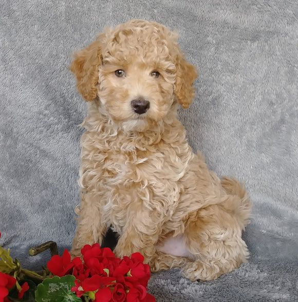 F1B Mini Labradoodle For Sale Millersburg, OH Male- Munchkin