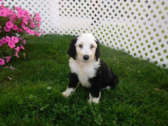 Sheepadoodle For Sale Batic, OH Female- Nancy