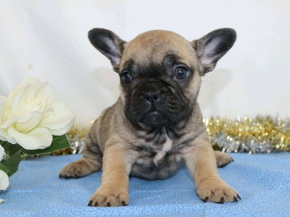 AKC Registered French Bulldog For Sale Wooster, OH Female- Neillee