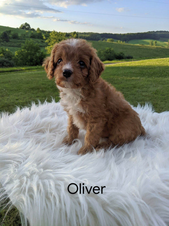 Cavapoo For Sale Dundee, OH Male- Oliver