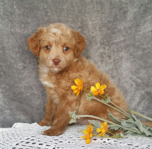 Mini Labradoodle For Sale Millersburg, OH Male- Ollie