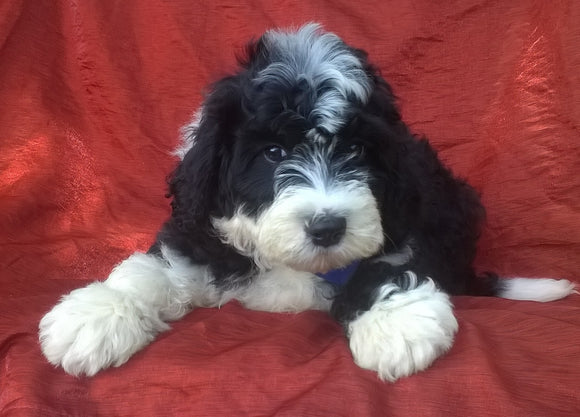 Mini Aussiedoodle For Sale Berlin, OH Male- Badger