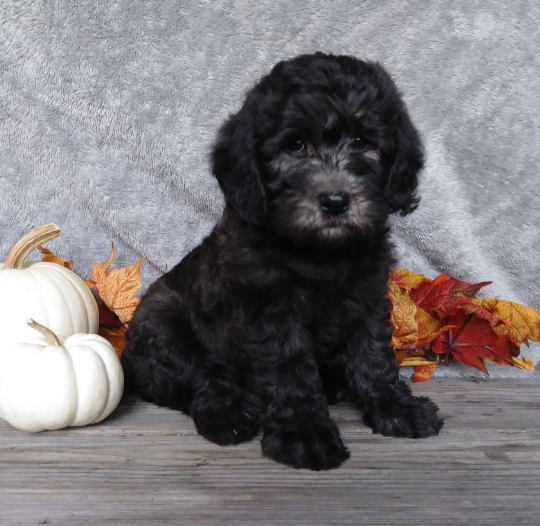 F1B Mini Labradoodle For Sale Millersburg, OH Male- Oreo