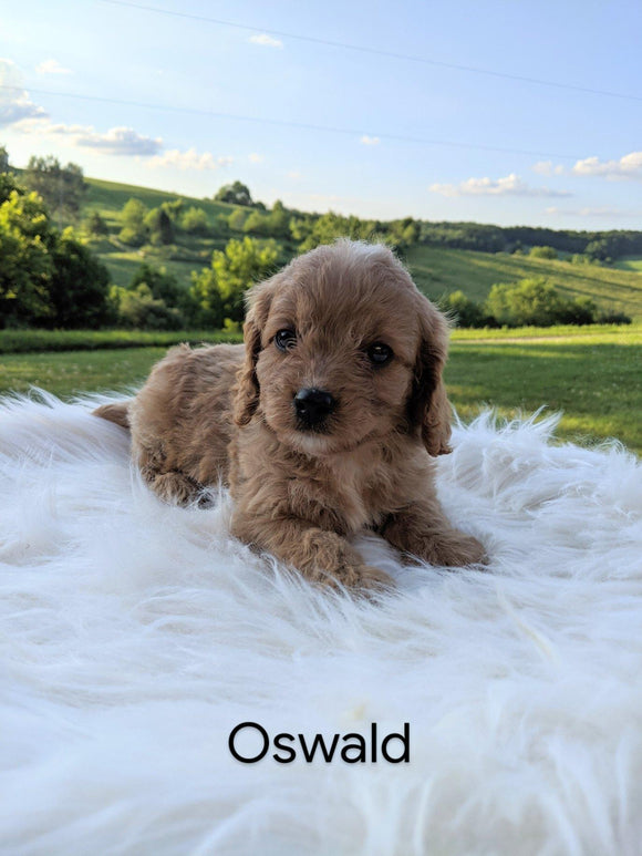 Cavapoo For Sale Dundee, OH Male- Oswald